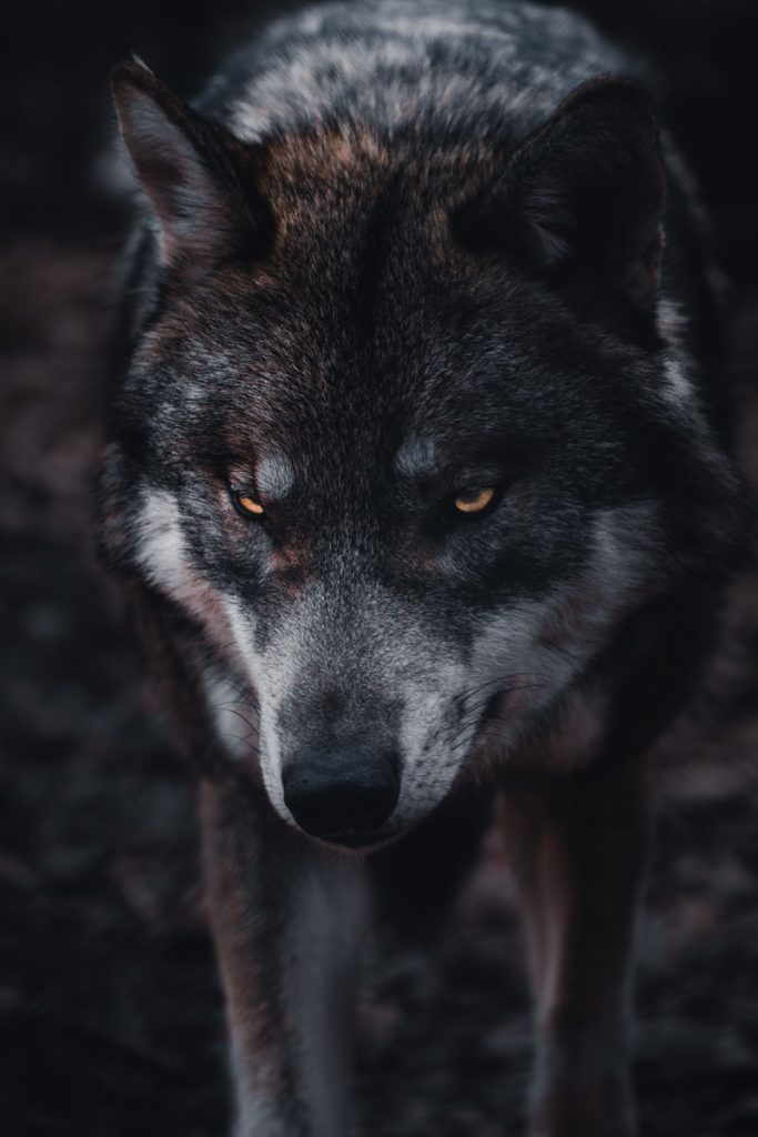 brown and black wolf in close up photography